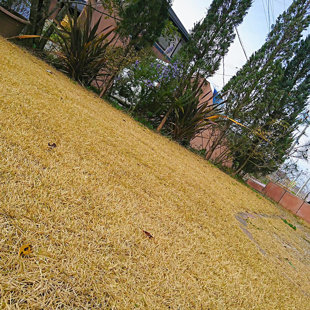 芝生の冬枯れ