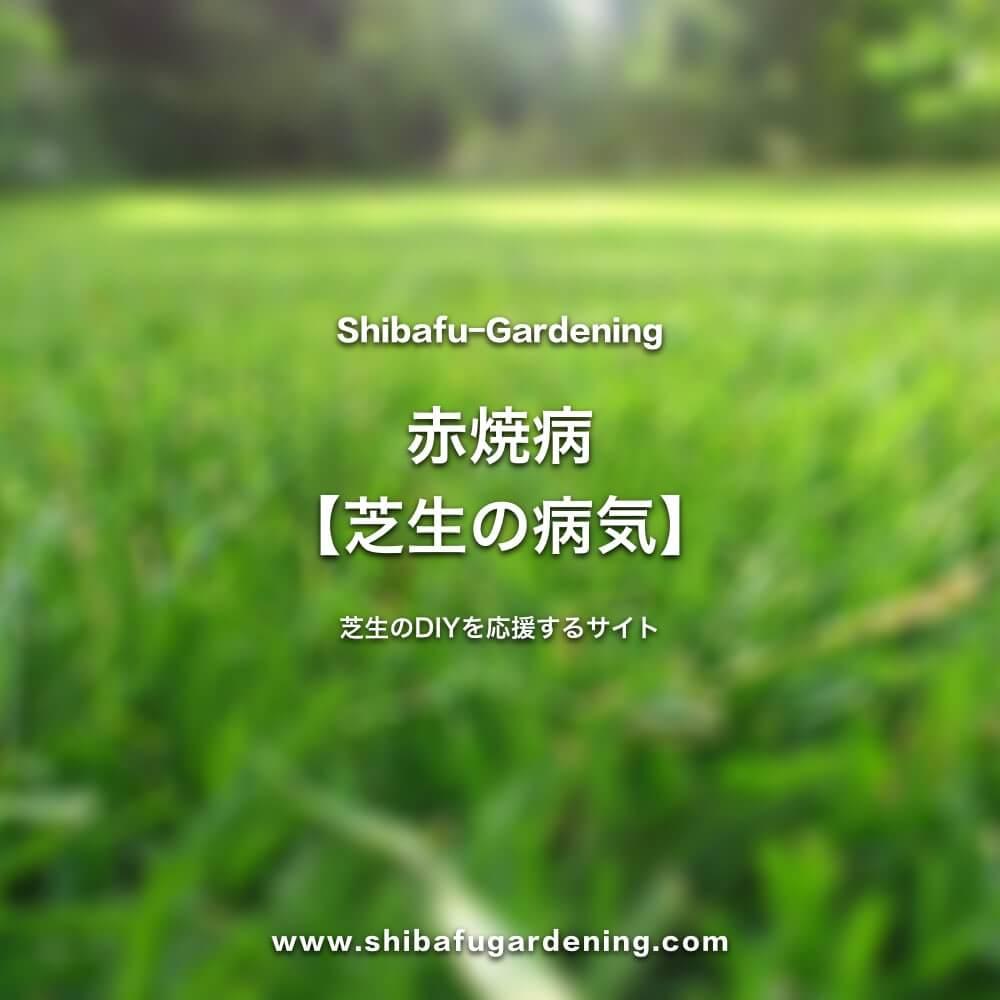 赤焼病【芝生の病気】